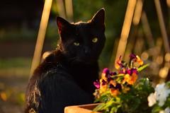 Black cat (emina.knezevic) Tags: cats domesticcats blackcat streetcat catphotography catphotos animals nature streetcats animalphotography cat pet petphotography