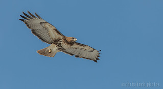 Cornell Red-tailed Hawk,