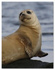 Harbor Seal (Redtail10025) Tags: harbor seal nyc staten island mount loretto rock pup
