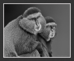 SIlver Anniversary Portrait (jackalope22) Tags: bw zoo monkey fur texture eyes