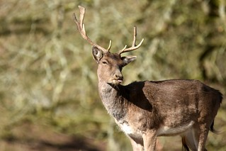 Deer with attitude...
