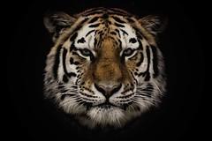 Impact..2.. (digitaloptics) Tags: tiger portrait animal animals cat bigcats nature creatures