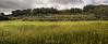Champ d'Oliviers à Sanary (Nat_L2_photographies) Tags: olivier champ sanary var méditerranée provence field