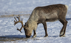 Reindeer - Rocking chair Antlers (Ann and Chris) Tags: animal amazing close eating feeding gorgeous mammal norway norge outdoors scandinavia wildlife wild