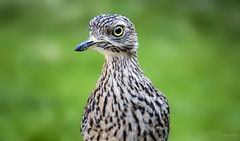 Cape Thick-knee (Paula Darwinkel) Tags: dikkop thickknee bird animal wildlife nature africa bokeh green portrait