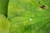 Drop and Lily Pad 3-0 F LR 2-28-18 J079 (sunspotimages) Tags: lotus lotuspod lily lilypad drops waterdrops drop waterdrop green lilypads lotuspods nature leaf leaves