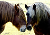 tendresse (quentinmimi) Tags: animal cheval cheveaux marron tendresse clansayes ferme
