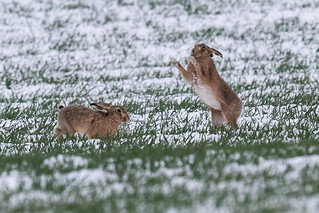 Mad March Hares in South Somerset