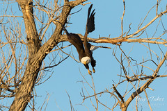 Bald Eagle launch in the morning light - 7 of 13
