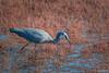 Gone fishing DSC_8823 (BlueberryAsh) Tags: aitkencreek craigieburn birds whitefacedheron heron egrettanovaehollandiae bluecrane nikond500 tamron150600 wetland