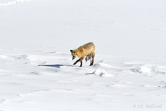 Fox trot: FOX TROT (V. C. Wald) Tags: redfox vulpevulpes yellowstonenationalpark yellowstoneinwinter tamronsp150600f563divcusdg2
