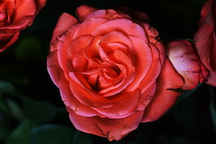 DSC_8991 (PeaTJay) Tags: nikond750 sigma reading lowerearley berkshire macro micro closeups gardens indoors nature flora fauna plants flowers bouquet rose roses rosebuds