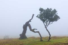 New beginning (RicardoPestana2012) Tags: tree mist fanal madeira madeiraisland fog