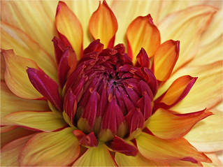 Yellow dahlia with a red heart