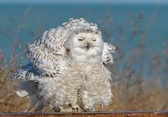 Snowy Owl. (Estrada77) Tags: snowyowl wildlife nikond500200500mm illinois raptors distinguishedraptors outdoors march2018 birdsofprey birding