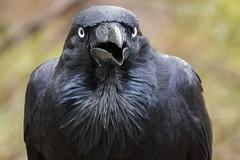 Australian Raven - Kangaroo Island - Australia (wietsej) Tags: australian raven kangaroo island australia bird portrait sony rx10 iv rx10m4 flinders ranges national park