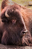 Bison 3-0 F LR 2-20-18 J010 (sunspotimages) Tags: bison buffalo americanbison americanbuffalo nature wildlife zoos zoosofnorthamerica zoo nationalzoo fonz fonz2018 bisons buffalos