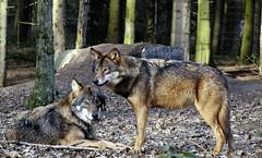 I love wolves ... (gabrieleskwar) Tags: outdoor portrait wolf wölfe wolfsgehege bäume wald