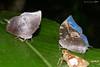 Memphis species (LPJC (on a trip leaving home April 20)) Tags: arcc lakesoledad peru 2017 lpjc butterfly memphis memphisacidalia