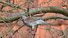 2018-03-09 Winter visitor 004 (Gloomy Moose) Tags: turdidae smallbirds fieldfare turduspilaris kramsvogel