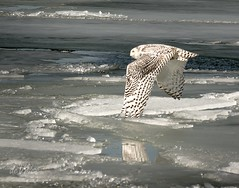 Off to the races . . . (Dr. Farnsworth) Tags: owl flying gliding ice water snowyowl sister muskegon mi michigan winter february2018