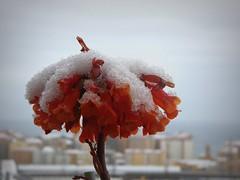 il cappellino bianco (fotomie2009) Tags: savona marzo 2018 neve snow liguria italy italia riviera ponente ligure balcorama flower fiore flora kalanchoe tubiflora succulent succulenta