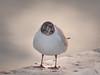 La mouette (MRI2009) Tags: mouette estacade nieuwpoort merdunord mer