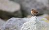 Eurasian Wren/Dreolín (Troglodytes troglodytes) (Mark Carmody) Tags: bullisland bullwall imagesbymarkcarmody irishsea markcarmodyphotography markcarmody winterwren 500mm biosphere bird bull canon carmo carmopolice carmopolis carmody dublin ireland island mark trogylodyte unesco wren coast coastal edge markcarmodyphotographycom mc000060 dreolín troglodytestroglodytes
