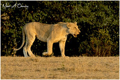 The Queen at Sunset! (MAC's Wild Pixels) Tags: thequeenatsunset lion lioness lionpride queenofthesavannah queenofthejungle queenofthemara animal mammal africanwildlife wildlife wildlifephotography wildafrica wildanimal wildcats wildpussy safari gamedrive outdoors outofafrica beautifulpussy sunset goldenhour goldenlight bigpussycat bigfive masaimara maasaimaragamereserve kenya macswildpixels nature coth ngc npc