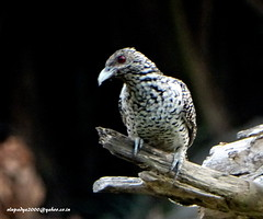 DSC00511 Asian Koel-Female (Eudynamys scolopacea) (vlupadya) Tags: greatnature aves fauna indianbirds asian koel female eudynamys kundapura karnataka animal