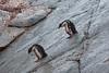Even penguins get the blues (Travels with Kathleen) Tags: gentoo penguins animals birds snow nature petermannisland antarctica bedraggled ngc