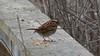 White-throated Sparrow (Zonotrichia albicollis) (Ryan Hodnett) Tags: whitethroatedsparrow zonotrichiaalbicollis