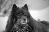 Dog portrait (steffos1986) Tags: animal dog bokeh blackwhite blackandwhite nature snow cold ice winter nikond800 nikon70210afd closeup outside