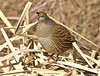 California Quail hen (Callipepla californica) -04 (keithricflick) Tags: fave okanagan soty18