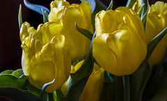 Birthday Tulips (114berg) Tags: 05march18 birthday flowers yellow tulips geneseo illinois