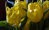 Birthday Tulips (114berg) Tags: 05march18 birthday flowers yellow tulips geneseo illinois