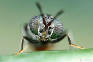 Hermetia illucens (Stratiomyidae)