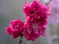 Peppermint Peach Blossoms (Phet Live) Tags: panasonic dmcgx8 olympus m60mm f28 phet live peach blossoms peppermint