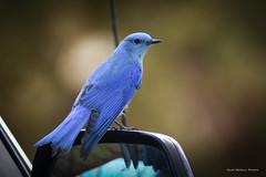 Mountain Bluebird (gene.mcgill95) Tags: bird blue bluebird bokeh colorado mountainbluebird