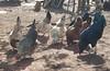 Colores de gallinas (ben.bourdon) Tags: pollos gallinas gallos comiendo comida sol sombra colores nicaragua la laguna rural comunidad américa central