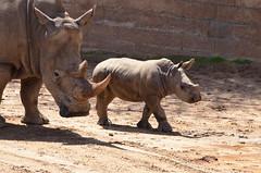 DSC_5522 (Andrew Nakamura) Tags: animal mammal rhino rhinoceros whiterhino southernwhiterhinoceros sandiegozoosafaripark safaripark escondido rhinocalf mothercalf onthemove