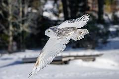 DSC_4110 (Pixelpics1) Tags: snowyowl bird owl