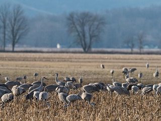 IMGPJ32690_Fk - Jackson County Indiana - Migratory Birds - Ewing Bottoms - Sandhill Cranes