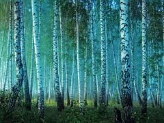 morning in a birch grove (arthurverigin) Tags: morning mist mystery forest fog russia siberia road ubravnets birch grove landscape blueness