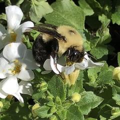 (kwalhart1984) Tags: macro nature pollen flowers bee