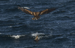 Otter and White Tailed Eagle - Not the result you might expect! (Ann and Chris) Tags: whitetailedeagle otter norway eagle hunting sea nature wildlife wild avian amazing bird canon7dmarkii wings helgeland coast nordland