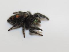 Bold Jumping Spider (Bug Eric) Tags: animals wildlife nature outdoors arachnids spiders jumpingspiders female salticidae araneae arachnida coloradosprings colorado usa phidippusaudax boldjumper northamerica march152018