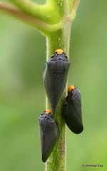 Froghopper trio, Cercopidae (Ecuador Megadiverso) Tags: amazon andreaskay cercopidae ecuador focusstack froghopper hemiptera id524 rainforest spittlebug truebug cercopoidea