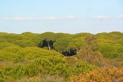 Pinar de Roche (Liam Cheasty) Tags: pinarderoche conil conildelafrontera cadiz andalucia spain pine forest beach natural