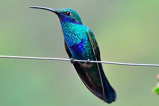 Сверкающий колибри, Colibri coruscans coruscans, Sparkling Violet-ear